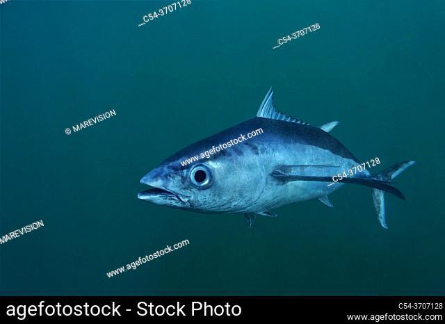 Albacore tuna fish. Longfin tuna. Long finned tuna. White tuna (Thunnus alalunga). Eastern Atlantic. Galicia. Spain. Europe