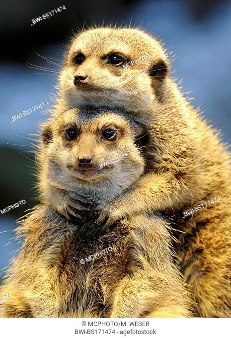 suricate, slender-tailed meerkat (Suricata suricatta), two viverrids