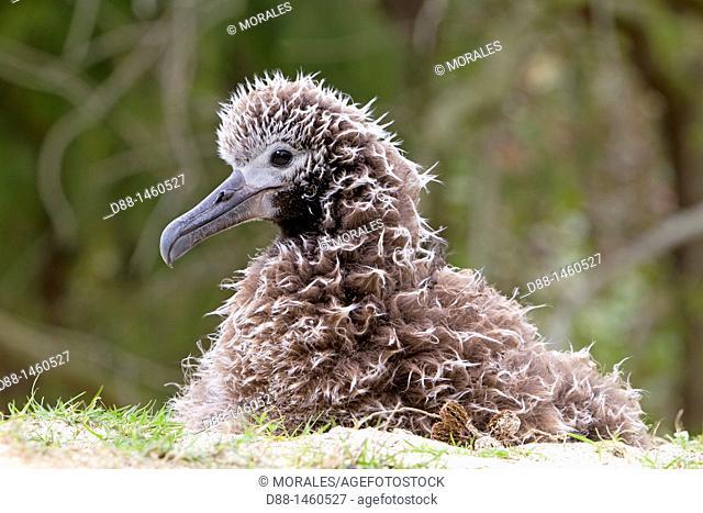 Black-footed Albatross (Phoebastria nigripes), young, Sand Island, Midway Atoll National Wildlife Refuge, Hawaii, USA