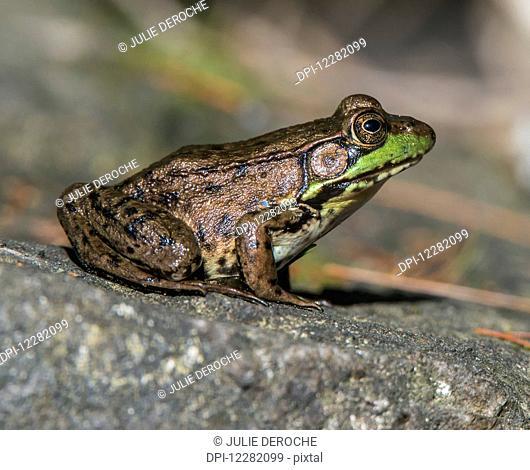 Mink frog (Rana septentrionalis) on a rock; Ontario, Canada