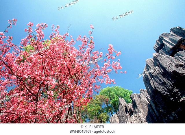 oriental cherry (Prunus serrulata), pink blossoms and rock formations, China, Yunnan, Shilin Stone Forest