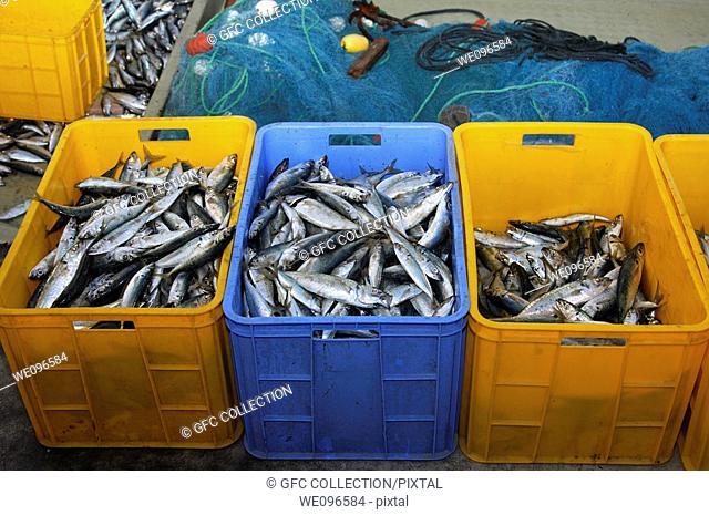 Plastic boxes storing freshly caught fish, Musandam, Sultanate of Oman