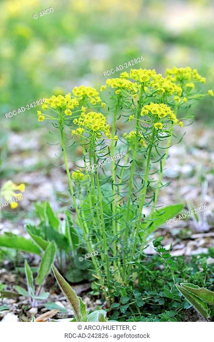 Cypress Spurge Germany Euphorbia cyparissias