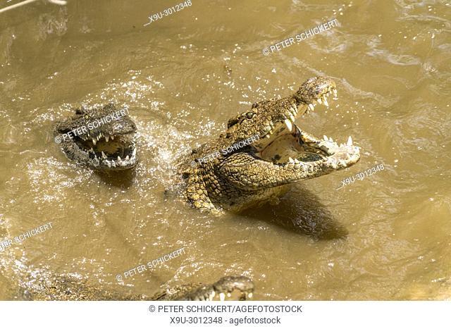 Feeding of the Nile crocodiles, La Vanille Nature Park, Riviere des Anguilles, Mauritius, Africa