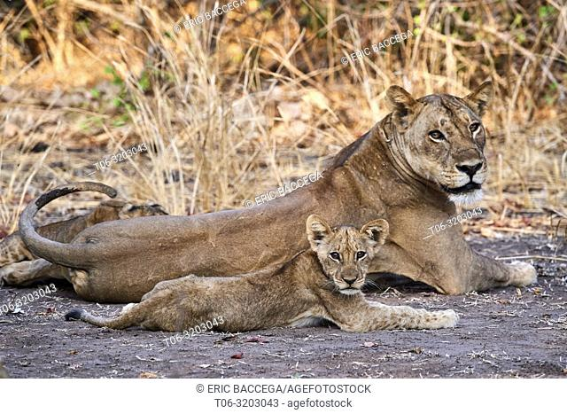 African lion female with cub (Panthera leo) South Luangwa National Park, Zambia