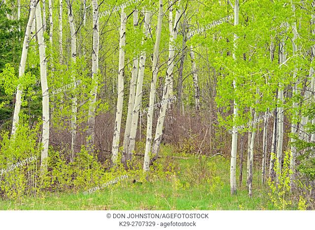 Spring foliage in aspen trees at the edge of a pasture, near Sheguiandah, Manitoulin Island, Ontario, Canada