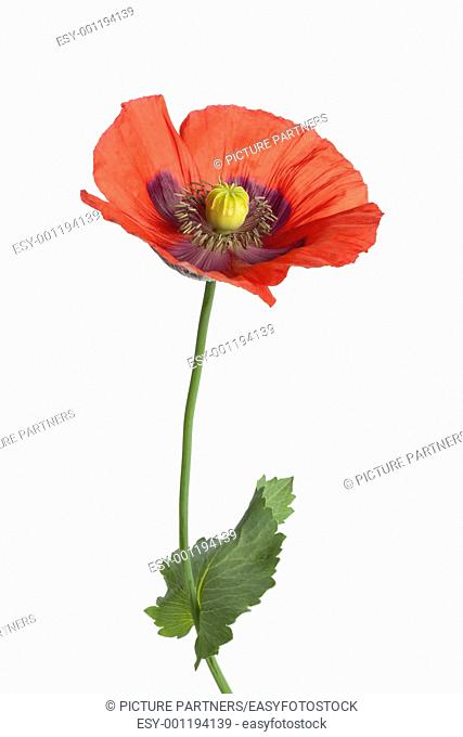 Red flowering Opium poppy on white background