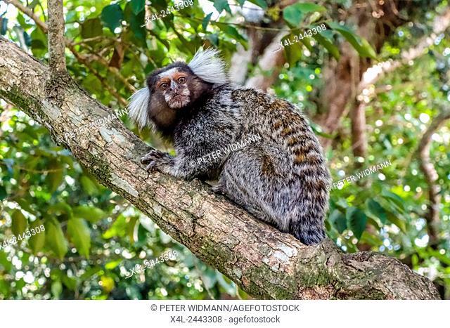 Macaque, Via Verde, Pao de Acucar, Sugarloaf, Rio de Janiero, Brazil, Rio de Janeiro