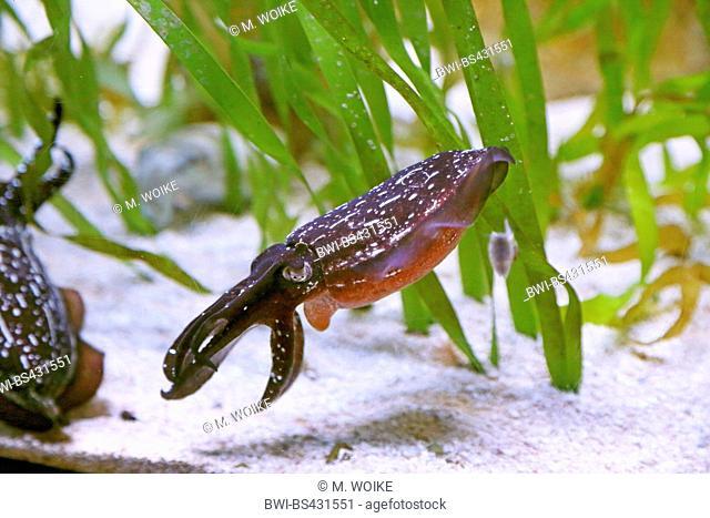 cuttlefish (Sepia spec.), swimming cuttlefish, USA, Florida, Sarasota Aquarium