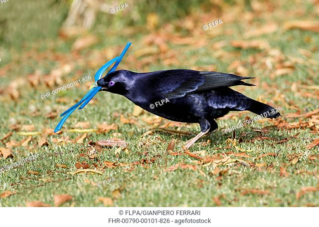 Satin Bowerbird (Ptilonorhynchus violaceus) adult male, collecting blue plastic objects to decorate bower, Green Mountain, Lamington N.P