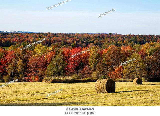 Round hay bales in a field and autumn coloured forest; West Bolton, Quebec, Canada
