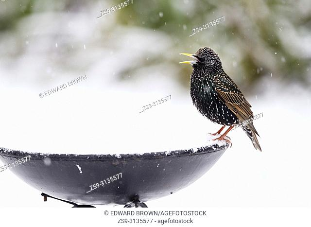 A Starling (Sturnus vulgaris) sits on a bird bath after fresh snow fall, East Sussex, UK