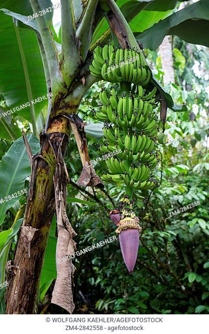 A banana plant with fruit and flower at the native community O El Pilchi near La Selva Lodge near Coca, Ecuador
