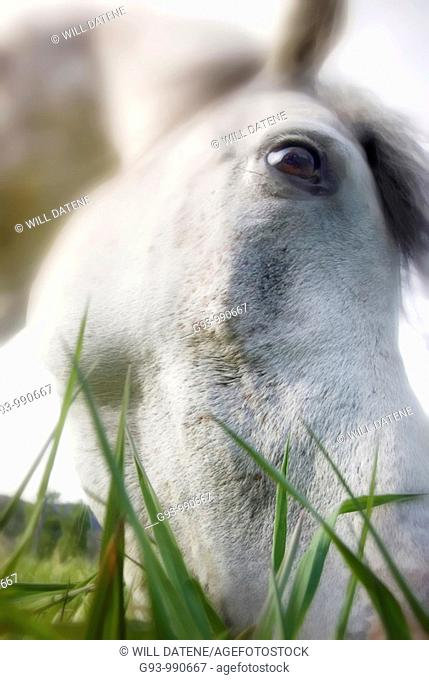 Close up of horse eating grass