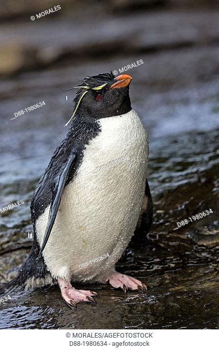 Rockhopper penguin (Eudyptes chrysocome chrysocome), Rockery, Saunders Island, Falkland Islands