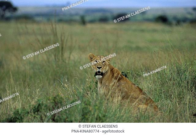 Lion Panthera leo - Nairobi National Park, Nairobi, Kenya, Africa