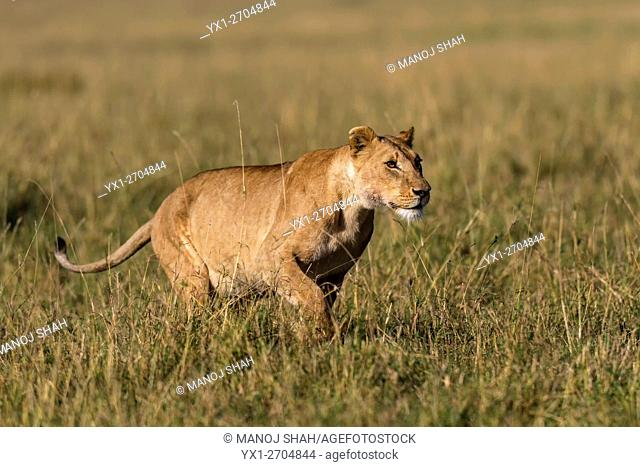 Lioness running towards vultures at a kill