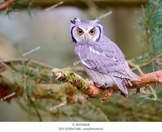 white faced scops owl sitting in tree