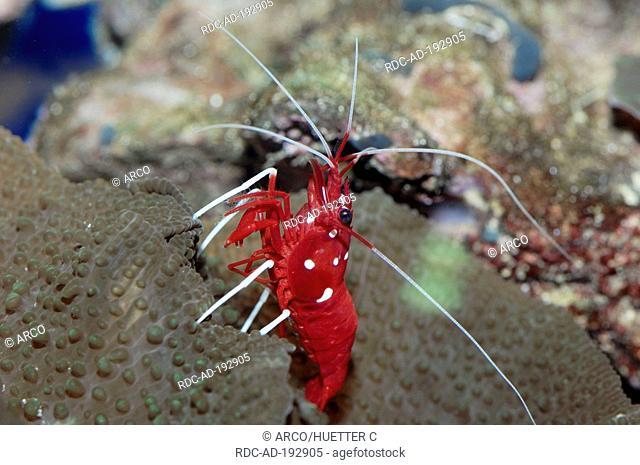 Skunk Cleaner Shrimp, Lysmata amboinensis, Scarlet Skunk Cleaner Shrimp, Skunk Cleaner, Scarlet Cleaner, White Striped Cleaner Shrimp