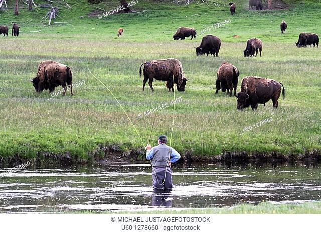 A fly fisherman seemingly is fishing for bison along the firehole river at Yellowstone National park, wyoming