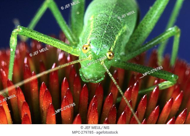 Speckled Bush Cricket Leptophyes punctatissima, on red flower, Europe