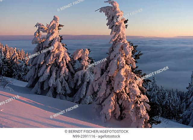 Summit of Great Arber, highest summit of the Bayerischer Wald, snow-packed spruces, sea of fog, Bavaria, Germany