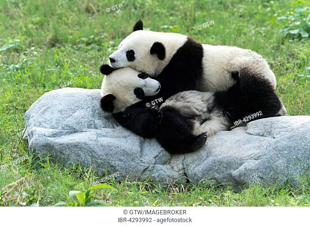 Two Giant Pandas (Ailuropoda melanoleuca), two years, China Conservation and Research Centre for the Giant Panda, Chengdu, Sichuan, China