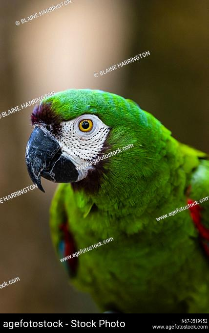 Macaw, Parque des Aves (Bird Park), Foz do Iguacu, Brazil. . . Parque das Aves is the only institution in the world focused on the conservation of the beautiful...