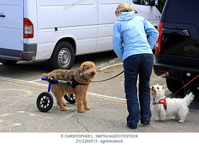 A woman takes a disabled dog for a walk using rear leg support carriage