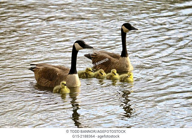 Canada geese and goslings. Des Plaines River, Cook County, Illinois, USA