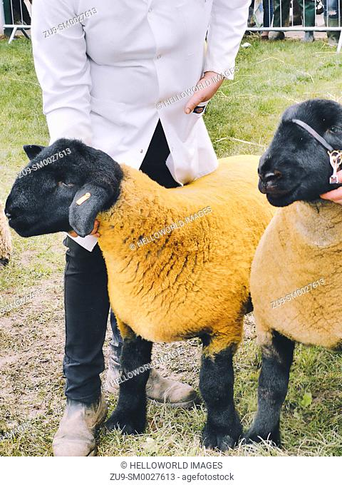 Sheep handler showing 2 black faced sheep, Three Counties Show 2019, Malvern, Worcestershire, England