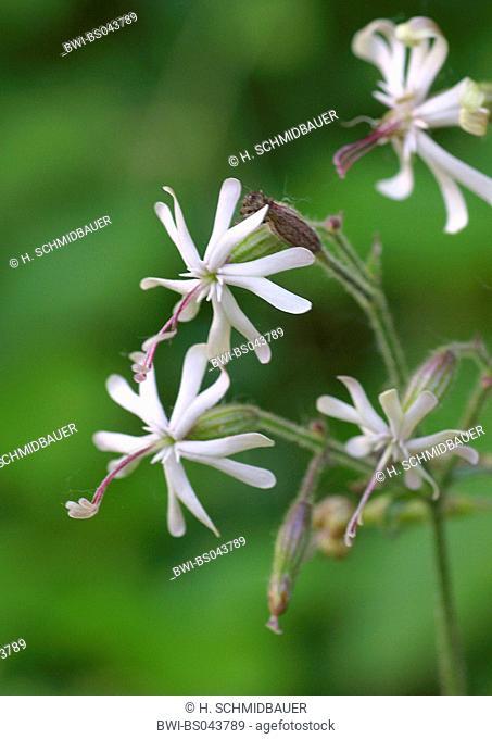 nottingham catchfly (Silene nutans), inflorescence