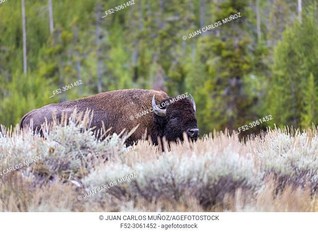American Bison - Bisonte Americano, (Bison bison), Yellowstone National Park, Unesco World Heritage Site, Wyoming, Usa, America