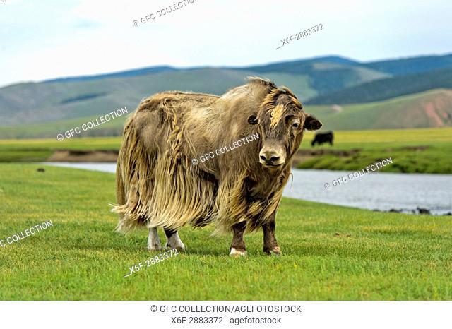yak (Bos mutus) with long light brown fur, Orkhon Valley, Khangai Nuruu National Park, Oevoerkhangai Aimag, Mongolia