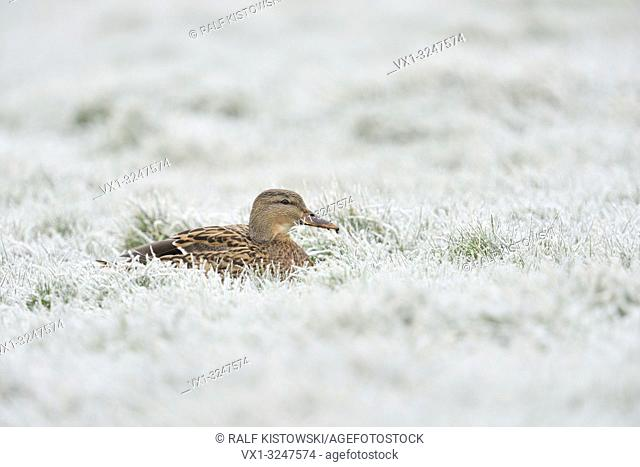 Female Mallard / Wild Duck / Stockente (Anas platyrhynchos) rest on hoarfrost covered pasture, frosty winter times.