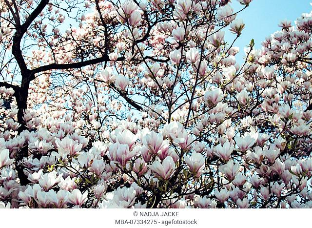 Magnolia tree in bloom in spring sun