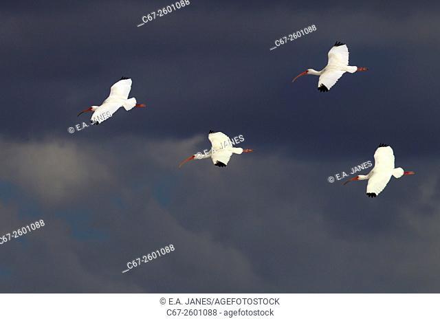 White Ibis Eudocimus albus Fort Myers beach Gulf Coast Florida USA
