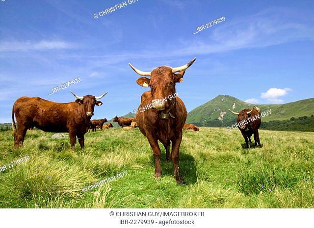 Salers cows, Sancy mountains, Parc Naturel Regional des Volcans d'Auvergne, Auvergne Volcanoes Natural Regional Park, Puy de Dome, France, Europe