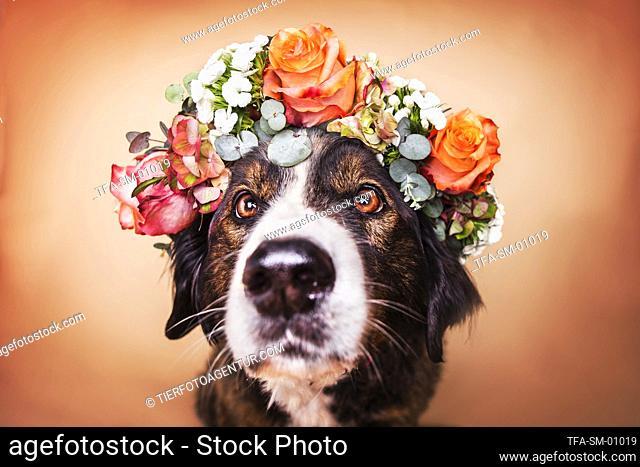 Bernese Mountain Dog Mongrel