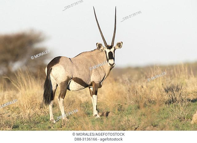 Africa, Southern Africa, Bostwana, Central Kalahari Game Reserve, Oryx gazelle, or gemsbok (Oryx gazella), adult