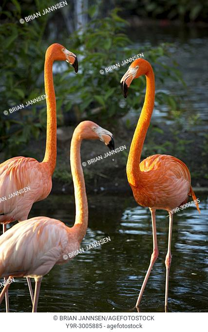 American Flamingos (Phoenicopterus Ruper) in pond at Everglades Wonder Garden, Bonita Springs, Florida, USA
