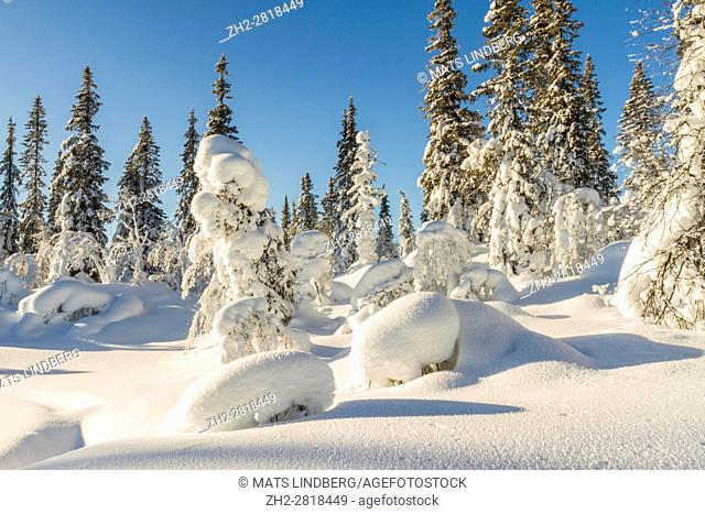 Winter landscape with plenty of snow hanging on the spruce trees, sun is setting with blue sky, Gällivare, Swedish Lapland, Sweden