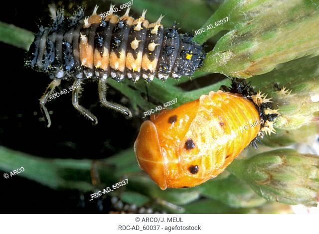 Multicolored Asian Lady Beetle larva and cocoon Harmonia axyridis Multicolored Asian Lady Bird