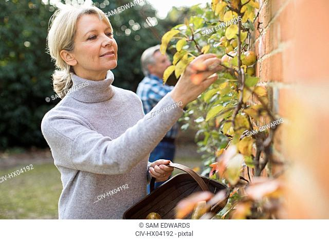 Mature woman harvesting apples in garden