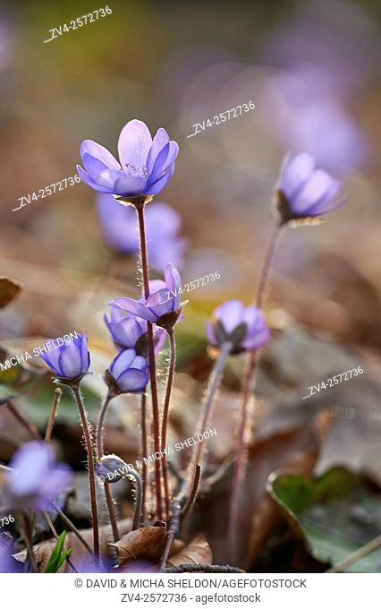 Close-up of Common Hepatica (Anemone hepatica) blossoms in spring, Germany