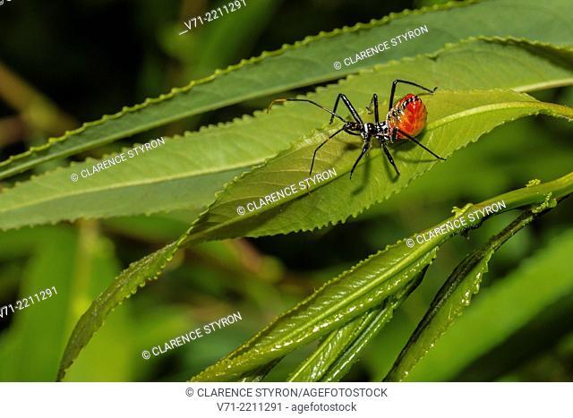 Assassin Bug Arilus cristatus Nymph Hunting on Willow Salix nigra Leaf