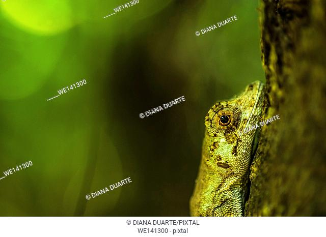 """""""""""Anolis"""" (Anolis), There are species of Lizards that consume only plants and those that consume only meat. It all depends on the type of species"