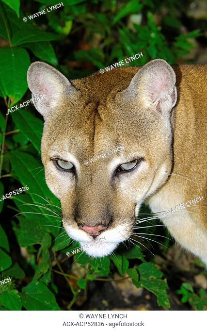 Central american puma Stock Photos and Images | age fotostock