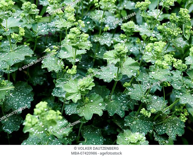 Lady's mantle with guttation