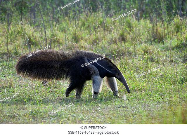 Brazil, Southern Pantanal, Caiman Ranch, Giant Anteater Myrmecophaga Tridactyla, Endangered Species
